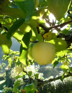 apples_03